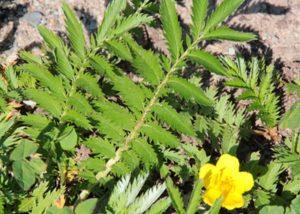 Gänsefingerkraut und Blüte