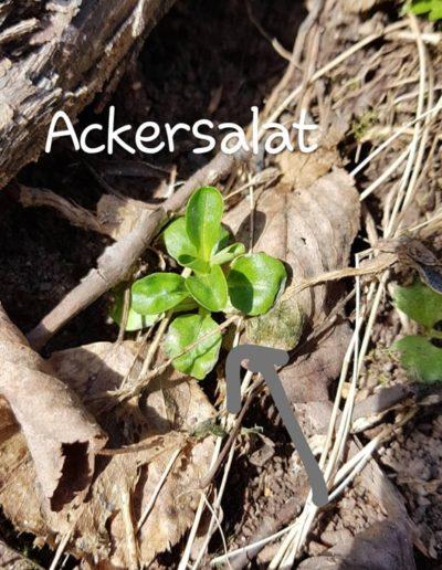 Ackersalat