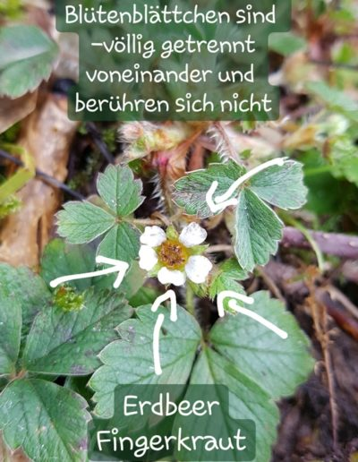 Erdbeer-Fingerkraut