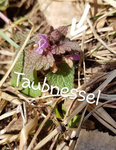 Taubnessel
