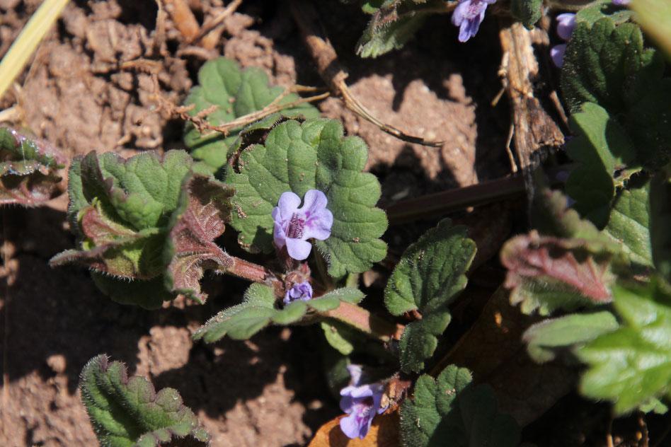 Gundermann und andere Pflanzenseelen
