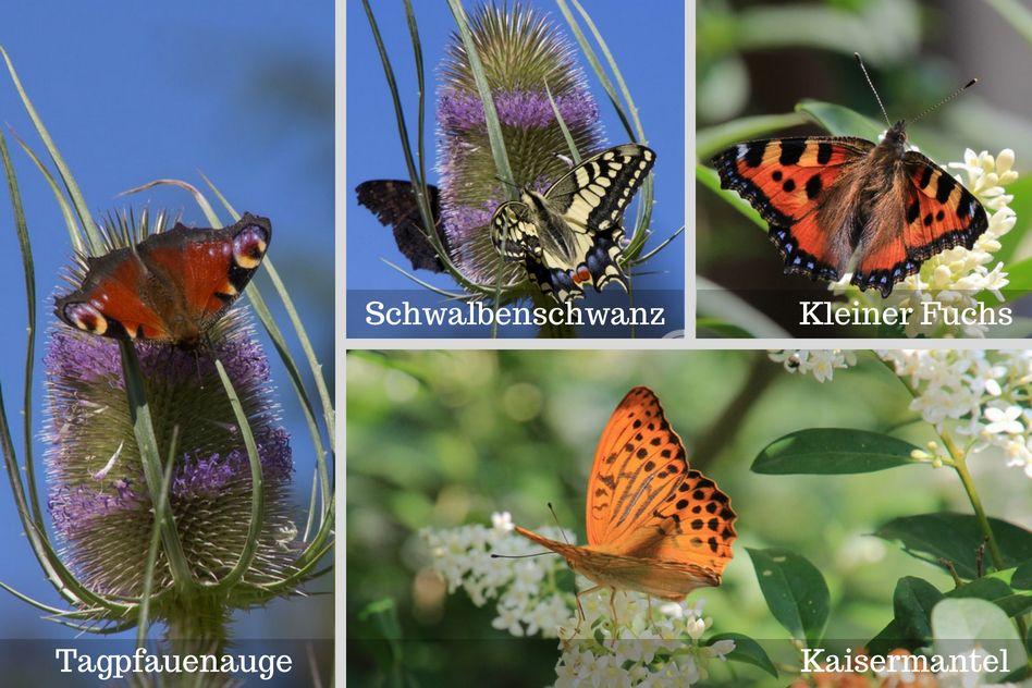 Schmetterlinge, Raupen und ihre Futterpflanzen erkennen